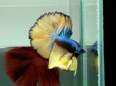 """Half Moon Betta - Many so-called Half-Moons do not have the full 180o spread and are sometimes known as """"Super Delta"""" Tails"""