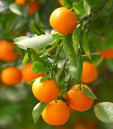 Clementine Trees For Sale | Fast-Growing-Trees.com