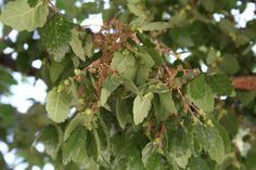 Αμπελιτσιά: Τοαπειλούμενο ενδημικό δέντρο της Κρήτης | ekriti