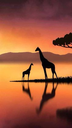 Photography Discover Giraffes at Sunset by Jenny Woodward Nature Sauvage African Sunset Art Drawings For Kids Silhouette Painting Cross Paintings Wildlife Art Nature Wallpaper African Art Cute Wallpapers Animal Photography, Nature Photography, Giraffe Pictures, Images Of Giraffes, African Sunset, Silhouette Painting, Kids Silhouette, Giraffe Art, Cross Paintings