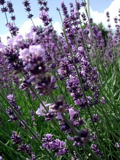 Lavendel (kruiden)