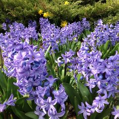 Hyacinth's are the sweetest smelling spring flower.