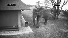 A surveillance camera captured the sight of an elegantly fastidious elephant as she picks up litter from the ground and properly puts it the trash can at the Thornhill Safari Lodge in Limpopo, Sout...