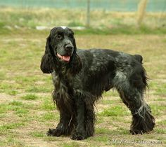 English Cocker Spaniel, compassionate and resilient. #DogBreeds