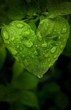 "Heart {Green leaf}: with rain drops, so beautiful! ""D""ebbie. green ~"
