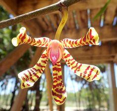 Arachnis Orchid