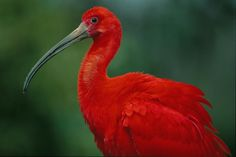 Show the Scarlet Ibis Some Love on Valentine's Day!