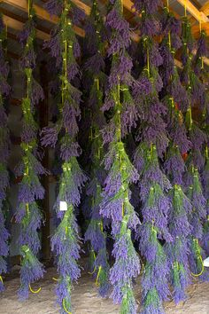 Our lavender hanging to dry in the working barn.