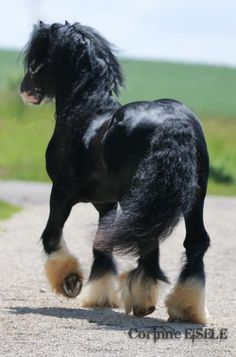 black gypsy vanner draft horse