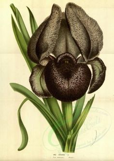 iris-00147 - iris susiana [3338x4716] iris qulity nice scrapbooking engravings old wall ornaments Paper flora 300 dpi 1700s blooming public Edwardian 18th domain plants 1900s use fabric natural digital Graphic floral botany irises art ArtsCult.com collage masterpiece pack download picture illustration Pictorial naturalist 17th supplies books decoration Artscult high commercial collection paintings beautiful 1800s Victorian century free clipart nature scan ArtsCult transfer pages instant…