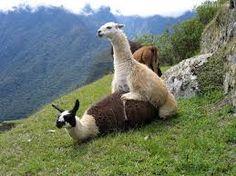 """""""Llamas."""""""