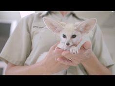 Fennec Fox Kit Keeps Busy at San Diego Zoo
