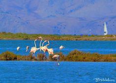 Flamingos at Alikes Lefkimis