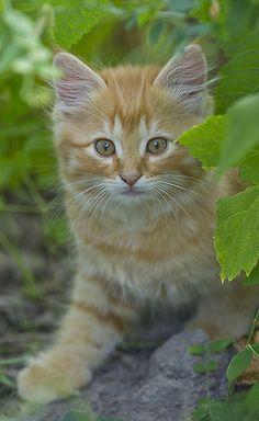 Little Golden Kitten