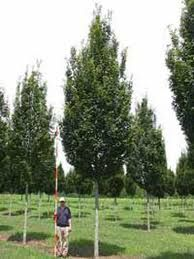 Carpinus betulus 'Frans Fontaine' - Google Search