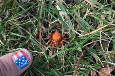 Orange Garden Spider:  Ok, that is such a boring name.  How come entomologists are so boring? I'm calling this one a Brilliant Pumpkin Spider.  Sheesh.