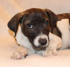 8/22/15- **PUPPY ALERT** Petango.com – Meet SALLY, a 6 months 13 days Hound / Terrier mix puppy available for adoption in MODESTO, CA