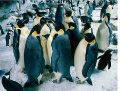 Penguins Up-Close Tour at Sea World! $38 per person not including the price of admission to the park.