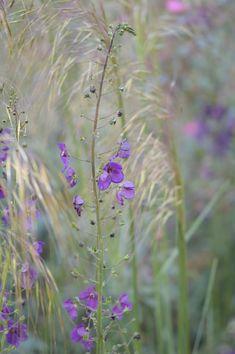 Verbascum phoeniceum Violetta and Stipa gigantea