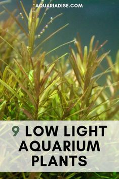 9 low light plants for your low tech aquarium! Planted Aquarium, Diy Aquarium, Aquarium Lighting, Aquarium Design, Aquarium Setup, Nature Aquarium, Aquarium Ideas, Pond Plants, Aquatic Plants