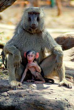 Monkeys at Mole National Park