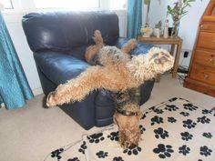 Airedale Sleep Position. ..ummm...!!?