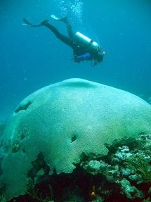 Brain coral tobago, the worlds largest brain coral