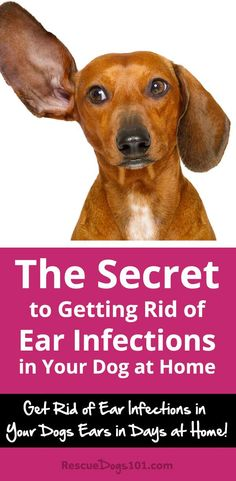 Discover how to treat your dogs ear infection without going to the vet... the number one secret to getting rid of your dogs ear infection at home is... #dogearinfection #doghealth #doghealthtips #doghealthwellness #dog #dogstuff #puppy