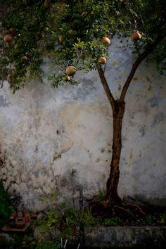fruit tree...decordeprovence