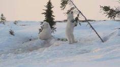 stoeiende ijsbeertjes