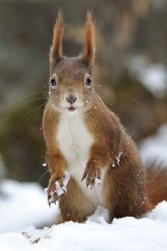 Photograph Squirrel Snow Paw by Josef Gelernter on 500px