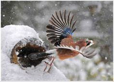 Jay Taking off by Ronald Coulter, via 500px
