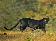 🌚🐆🌚🐆🌚🐆🌚🐆🌚 Panther Leopard, Panther Cat, Black Panther, Big Cats, Cats And Kittens, Cute Cats, Primates, Mammals, Beautiful Cats