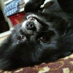 Black Pomeranian