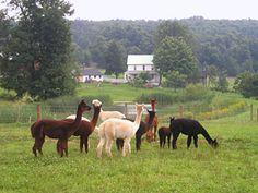 Welcome to BlueBell Farm Alpacas
