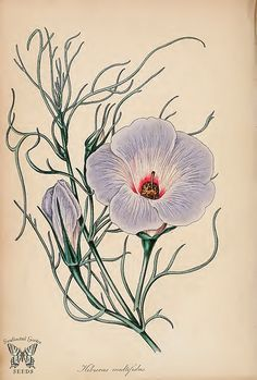Hibiscus. Hibiscus multifidus. (Paxton's) Magazine of Botany and Register Vol. 7 (1840)