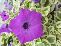 The Flower Show will unveil a New Plant Showcase! Located next to the PHS Exhibit, it will highlight new annuals, as well as some perennials. This is a new variety of petunia called the 'Glamouflage Grape' which has purple flowers with variegated leaves. It grows in sun or part shade, and is great for baskets or mixed containers.