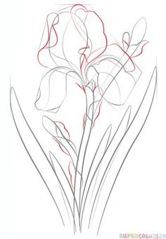 How To Draw An Iris Flower Step By Step Drawing Tutorials With Images Flower Drawing Tutorials Flower Drawing Flower Sketches
