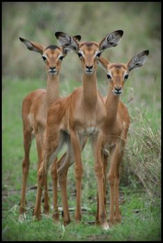 Africa | 'One, Two, Trio'.  Impalas.  Kruger National Park, South Africa. | ©Kim Verhees