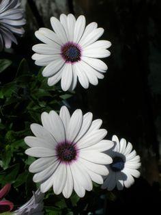 Daisy...photo by Cyn