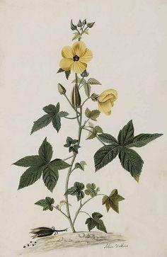 Musk Mallow (Abelmoschus moschatus). Moninckx, J., Moninckx atlas, vol. 4 (1682-1709) | by Swallowtail Garden Seeds
