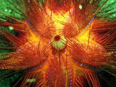 Fire Sea Urchin | fire urchin--stay away!