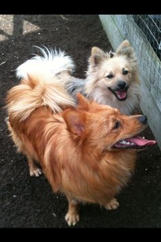 Spitz rescue dogs