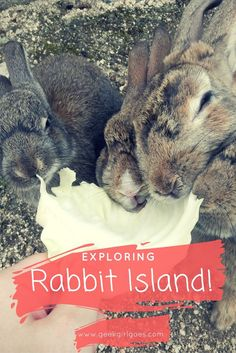 I nearly died from a cuteness overload when I visited Rabbit Island in Japan!! This is Okunoshima Island, near Hiroshima. It's practically abandoned apart from these adorable little bunnies! Click through to read more (and for more cute pics!) !!