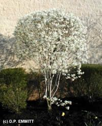 Select plants to attract wildlife!  Amelanchier canadensis
