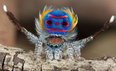 Australian peacock spider (photographed by Jurgen Otto). This is a pretty awesome spider, and I'm not entirely sure how I would react if I ever saw one. Scary vs. pretty.