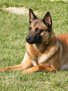 Belgian Shepherd, German Shepherd Dogs, German Shepherds, Malinois Dog, Belgian Malinois, Pet Dogs, Dog Cat, Police Dogs, Dog Pictures