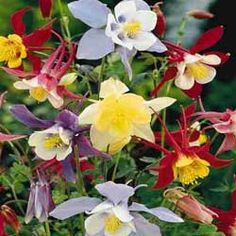 Giant Columbine - attracts hummingbirds, self seeding, blooms late spring to early summer