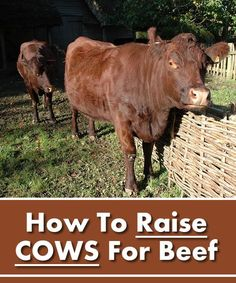 How To Raise Cows For Beef - on your homestead...