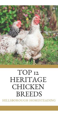 Ever heard of heritage chicken breeds? Learn more about these endangered animals and find out which birds are the best for your backyard poultry pets. Which hens are better for eggs or meat, Rhode Island reds or buff orpingtons? Click the pin to find out! Best Egg Laying Chickens, Types Of Chickens, Raising Backyard Chickens, Backyard Poultry, Meat Chickens, Heritage Chicken Breeds, Heritage Chickens, Chicken Home, City Chicken